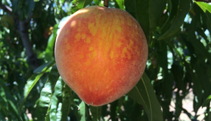 The perfect Gillespie County peach on a tree