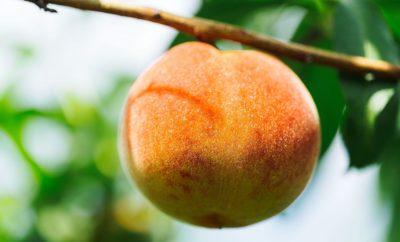 Local Peach Crop Sees Bumper Early Yield & Is Primed for 'Strong Summer Showing'