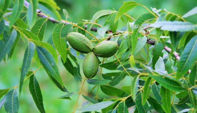 Pecan nuts on a tree