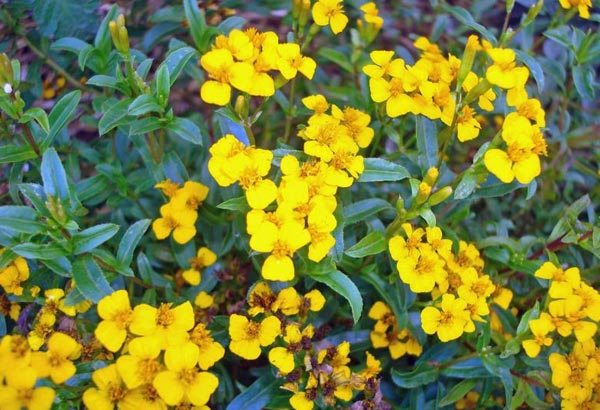 1. A perennial plant, which is one that can live for at least two years, this drought tolerant plant can be used as an herb and is said to taste like liquorice.