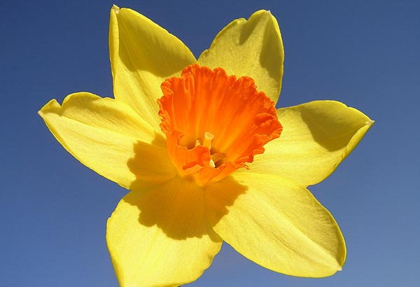 "2. The scientific name for this flower is ""Narcissus"". Another reference is this flower is also considered the ""flower of friendship""."