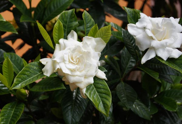 "5. Also known as, ""Cape-Jasmine"", this flower is known for its white pedals and strong fragrance."