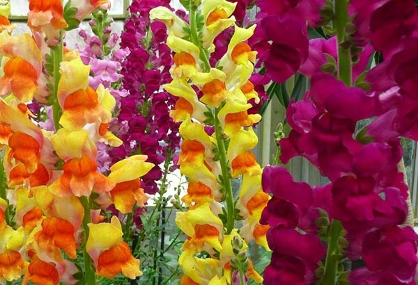 "9. The scientific name is ""Antirrhinum"". Their pedals are two-lipped and if you pinch them together this flower can resemble a mythical animal."