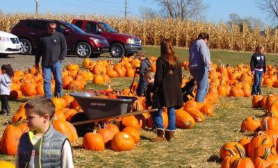 Picking pumpkins at a patch