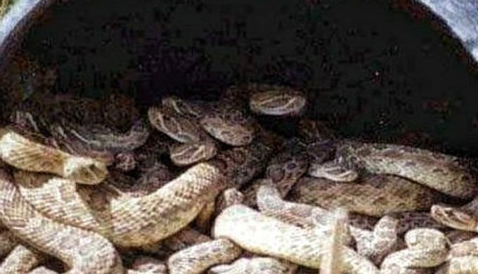 Rattlesnake den in a culvert may not have come from Texas