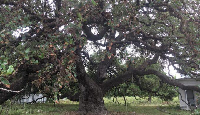 Rio Frio Oak 2