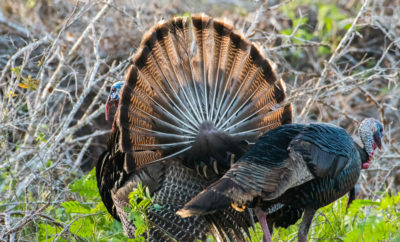 Rio Grande Turkeys wild turkeys