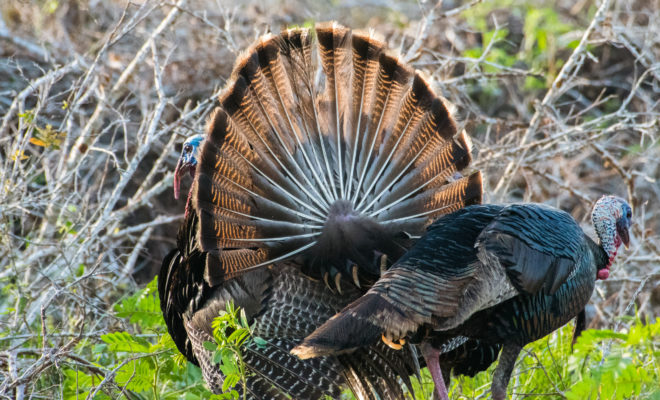Rio Grande Turkeys wild turkeys