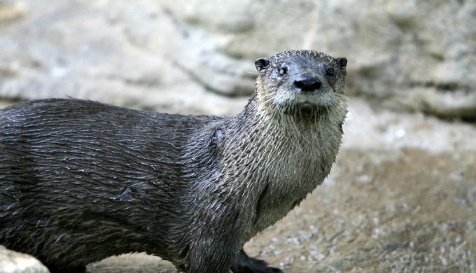 River Otter Texas