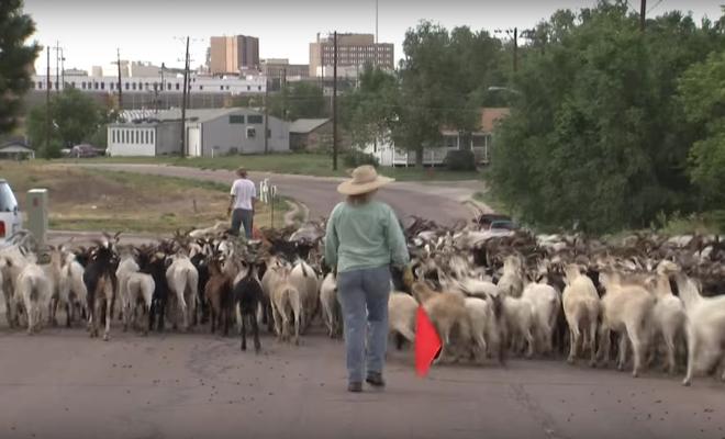 The Goat Lady of Cheyenne, Wyoming