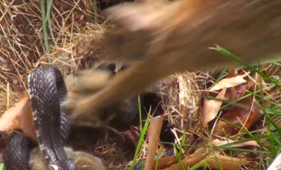 Rabbit Whups Up on Snake in Defense of Babies [VIDEO]