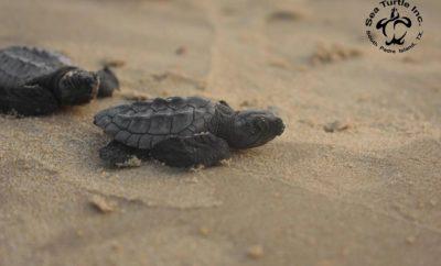 Sea Turtle education