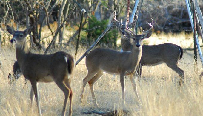 South Texas Deer