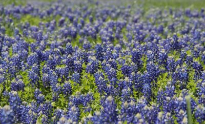 Sowing wildflower seeds Bluebonnets