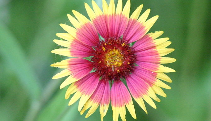 Sowing wildflower seeds Indian Blanket