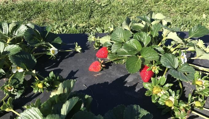 Strawberries Ripe for Picking