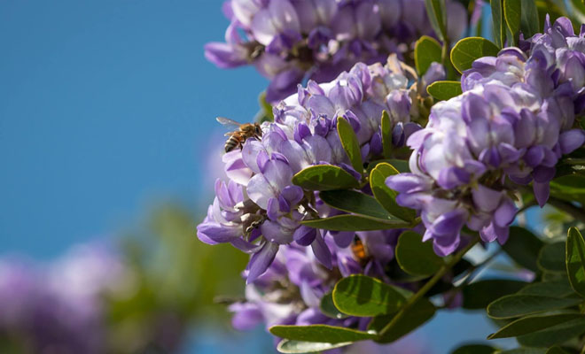 Steve Scott Texas Mountain Laurel