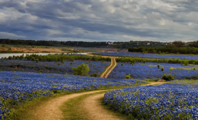 Bluebonnets at Muleshoe Bend in Spicewood, Texas. Image by Jason Weingart