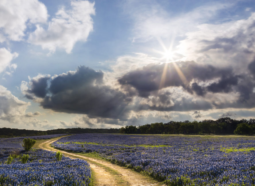 Massive field of bluebonnets at Muleshoe Bend in Spicewood.