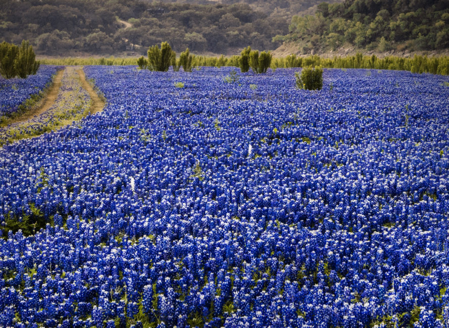 Bluebonnets overtake a dry lake bed in Spicewood, Texas.
