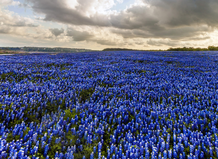Bluebonnets at Muleshoe Bend in Spicewood, Texas.