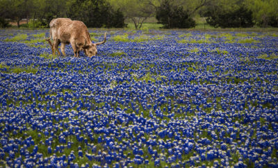 A longhorn grazes in a field of bluebonnets in Leander, Texas.