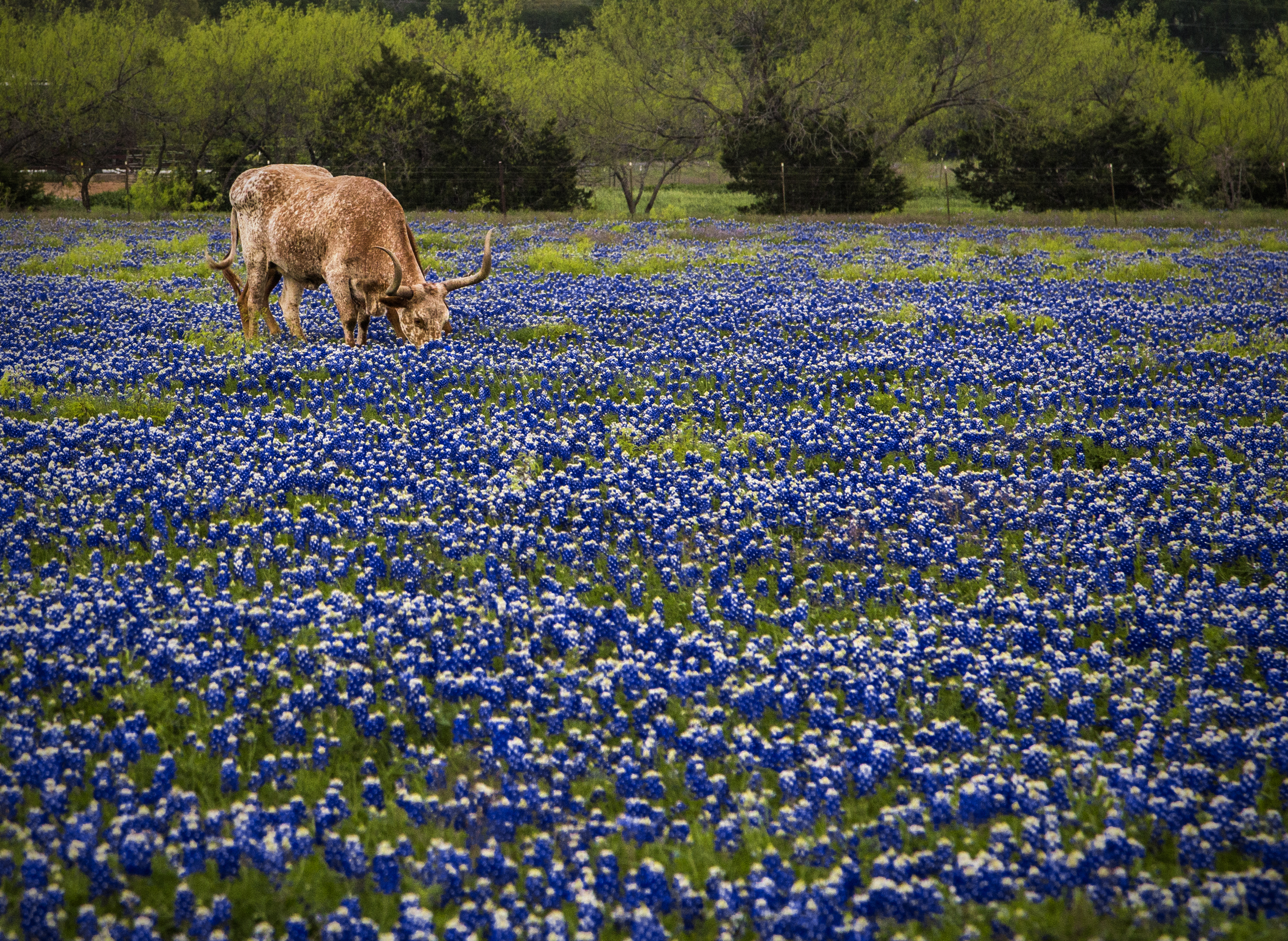 Do You Know Texas Has 5 State Flowers