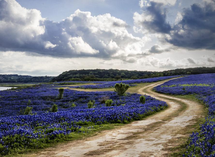 Temporary dirt road run through bluebonnets in Spicewood, Texas.