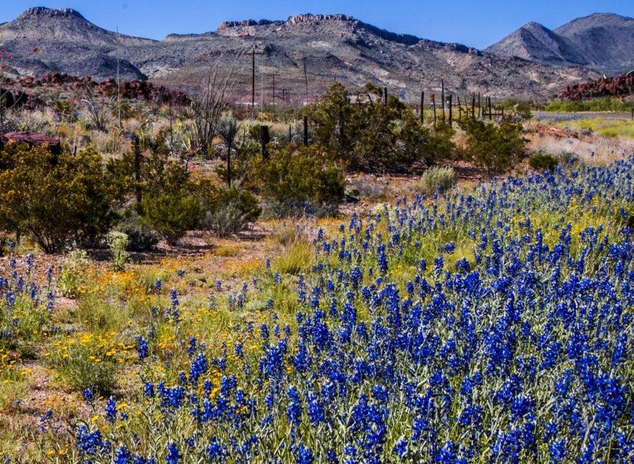 Lupinus Havardii near Terlingua, Texas
