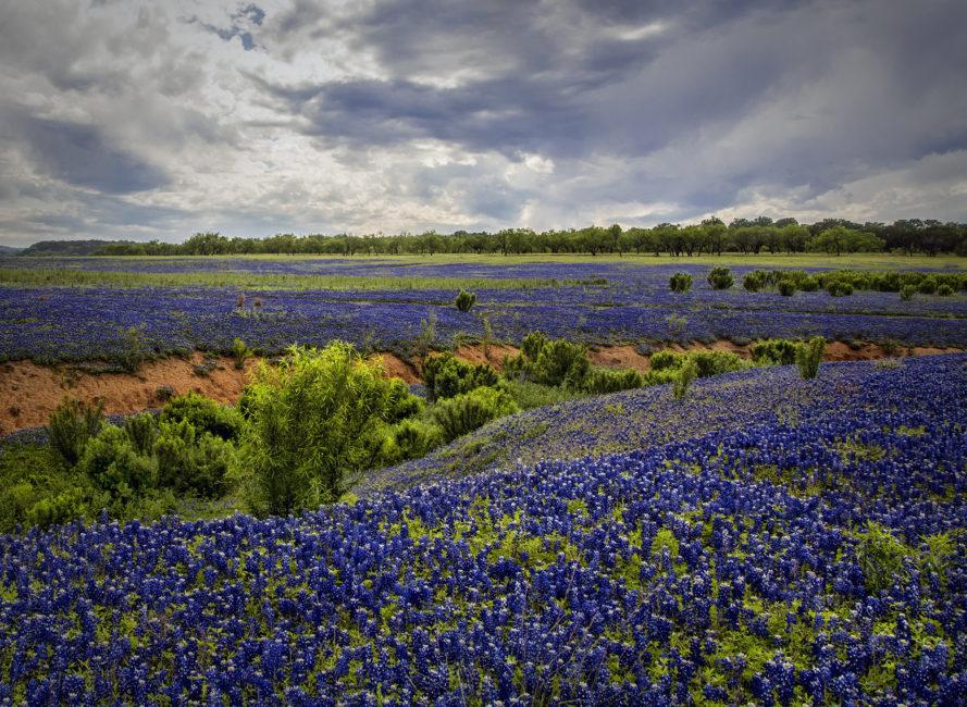 Large field of bluebonnets.