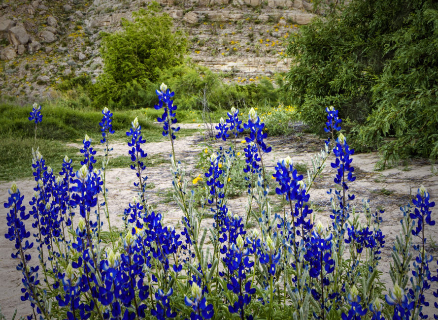 Bluebonnets in Big Bend National Park