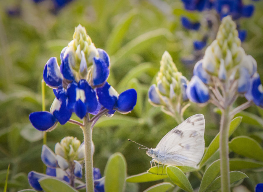 Young bluebonnets.