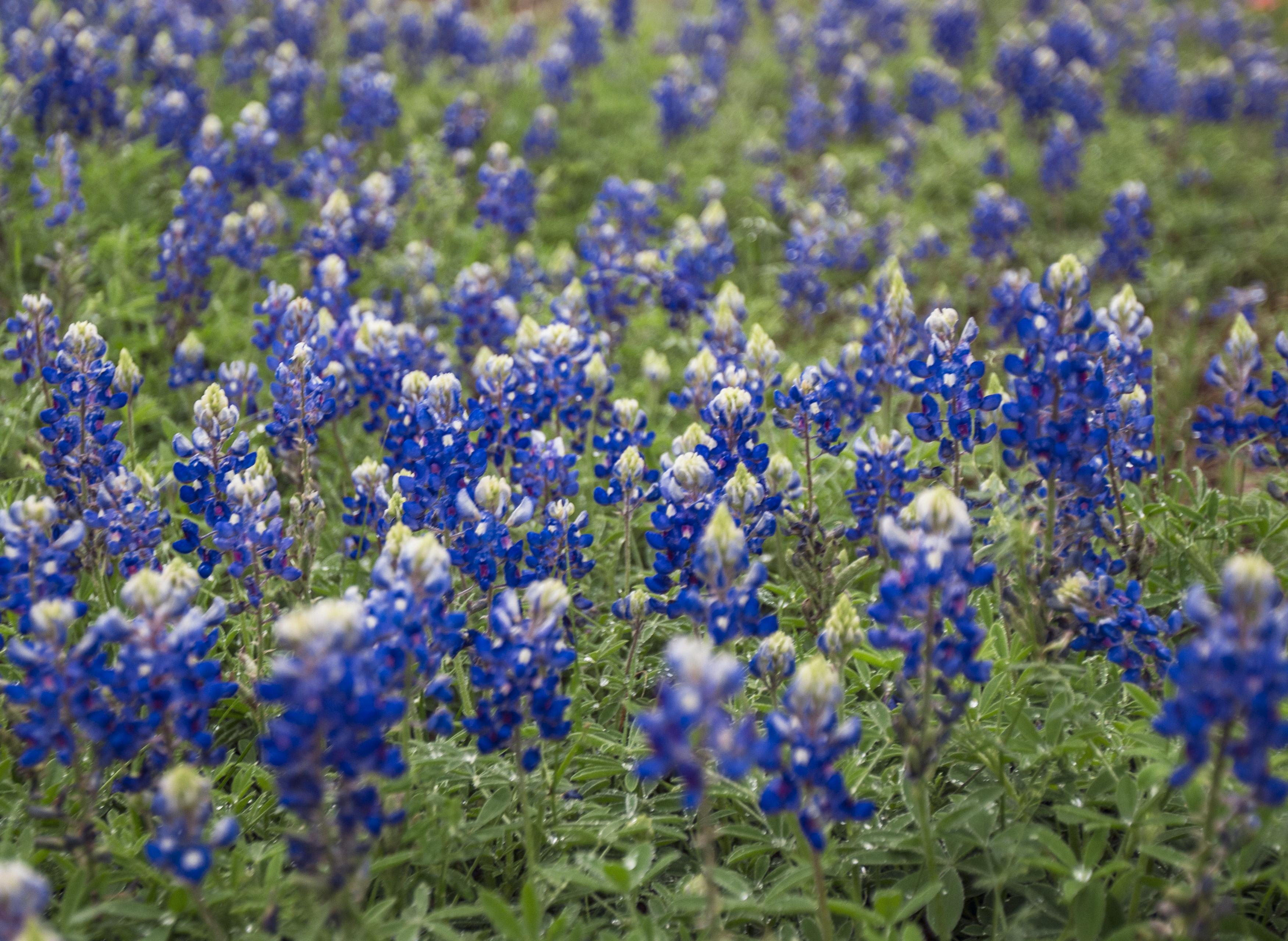 bluebonnet bloom update season looks promising but don u0027t pack up