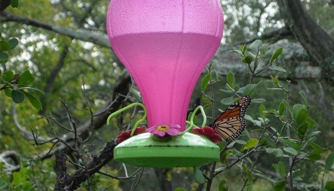 Texas Hill Country Monarch Migration