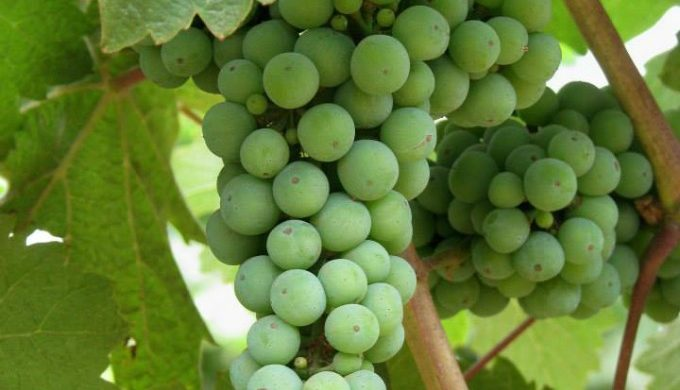 Riesling on the vine