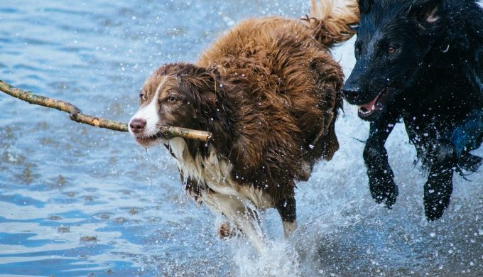 Dogs Swimming and Playing