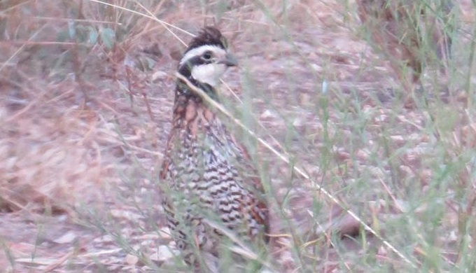 Texas Hill Country Day Hikes a Bobwhite at Balcones Canyonlands Wildlife Refuge