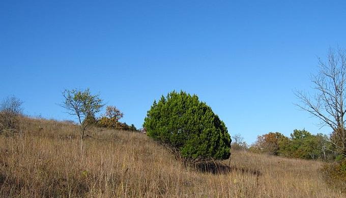 Texas Hill Country Mountain Cedar also known as Ashe Juniper
