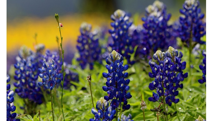 Texas Hill Country pictures bluebonnets