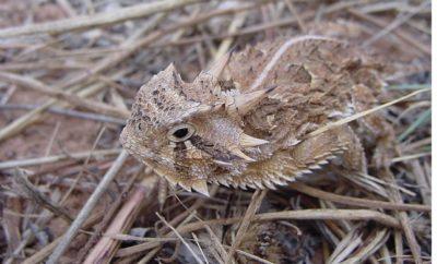 Texas Horned Lizard Close Up