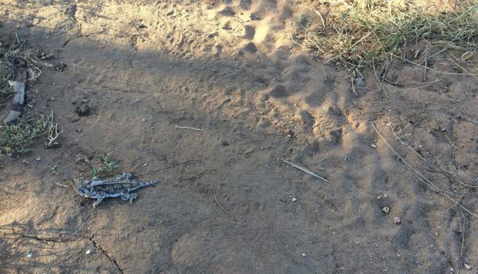 Texas Horned Lizard standing in tracks made at Mason Mountain Wildlife Management Area