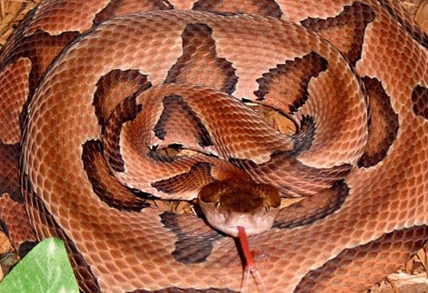 1. Having a brown or reddish color, this pit viper snake is venomous and common along the wetlands. There are a couple of subspecies in Texas, the Broad Banded can be found in central and western Texas. The Trans-Pecos subspecies are found along bodies of water, and the Southern which is found in the south regions.