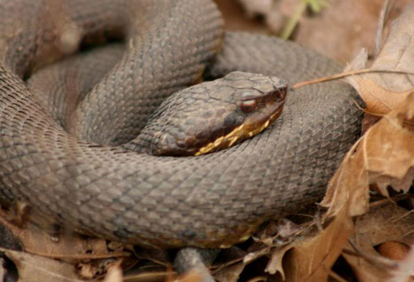 "2. Named after ""white tissue"" in its mouth, also a venomous pit viper, this snake eats other amphibious creatures. This snake is sometimes referred to as, ""water moccasins"", and are found near bodies of water."