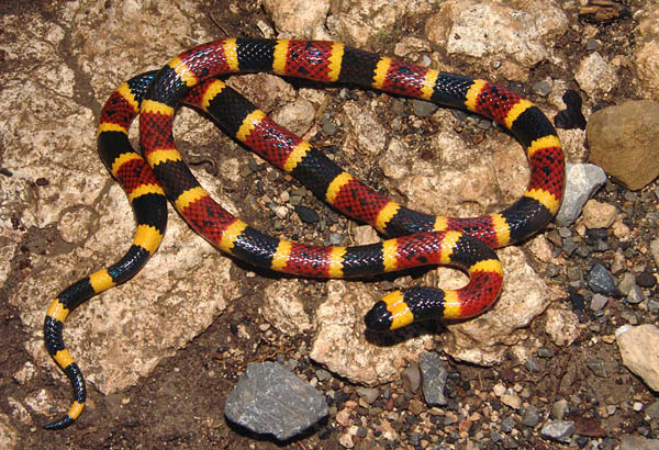 "4. Identification of some snakes can be made by their color bands. This snake has rings of red, yellow, and black. There are sayings that help with the proper recognition of when a snake is venomous. For this species remember, ""Red and yellow kills a fellow""."
