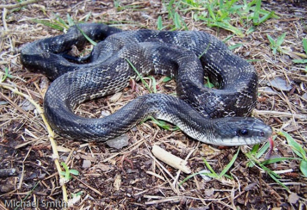 8. The most common large snake found in the Austin area, they are known as excellent climbers. They can have a combination or variety of colors, and its underbelly is often plain. Nonvenomous but a constrictor they are often considered aggressive and prey on rodents.