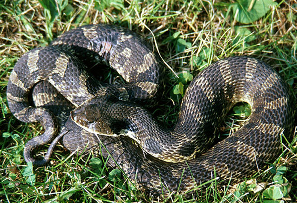 "9. Considered harmless, this snake has a nickname, ""puff adder"". When threated, it puffs its head to resemble a cobra. It will lunge at a person, but its mouth stays closed. If those defense mechanisms don't work, this snake will roll over, open its mouth and play dead for several minutes."