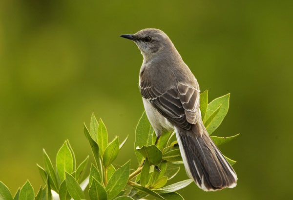 3. The state bird of Texas is:
