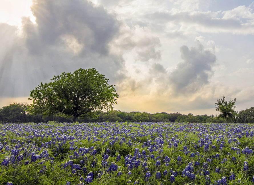 Turkey Bend Bluebonnets