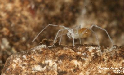 Bone Cave harvestman