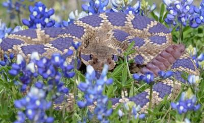 The Bluebonnet Rattlesnake